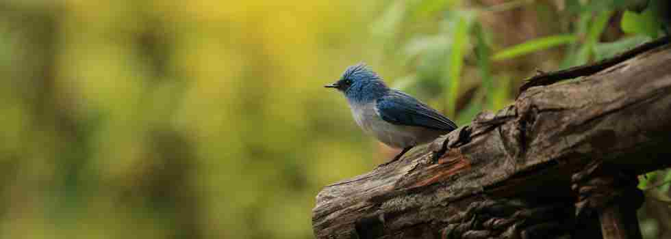 blue-flycatcher-birding-yellow-zebra-safaris.JPG
