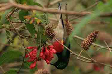 rwenzori-double-collard-sunbird-yellow-zebra-safaris.jpg