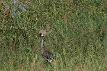 crowned-crane-tarangire-tanzani-yellow-zebra-safaris.JPG