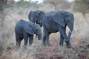 meru-national-park-elephant-big-five-yellow-zebra-safaris.JPG