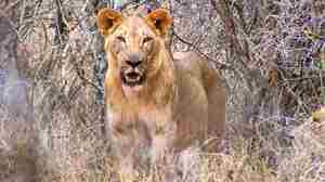 meru-national-park-lion-big-five-yellow-zebra-safaris.JPG