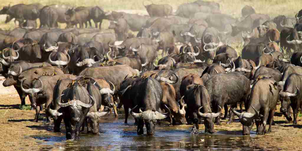 kwihala-camp-asilia-Buffalo-herd-Ruaha-National-Park.jpg