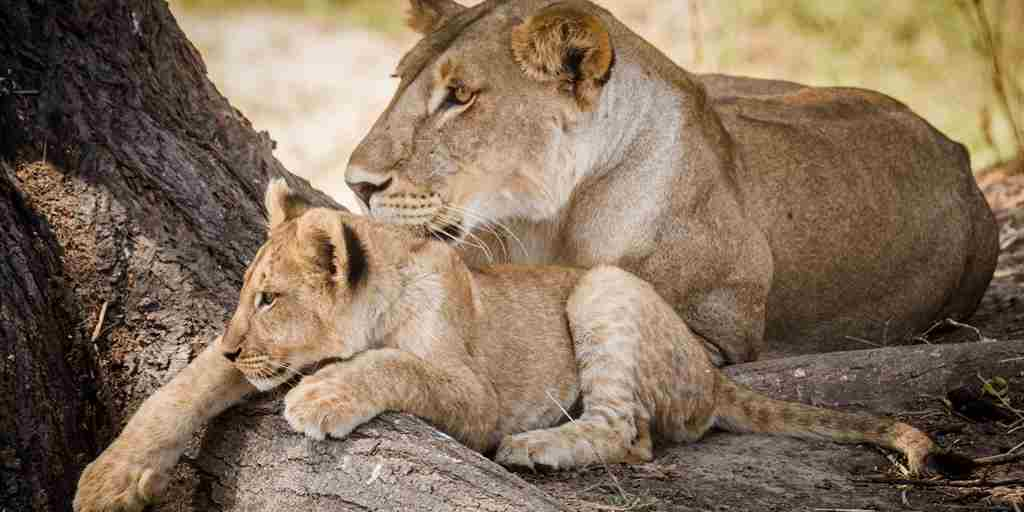 kwihala camp asilia Lioness with Cub