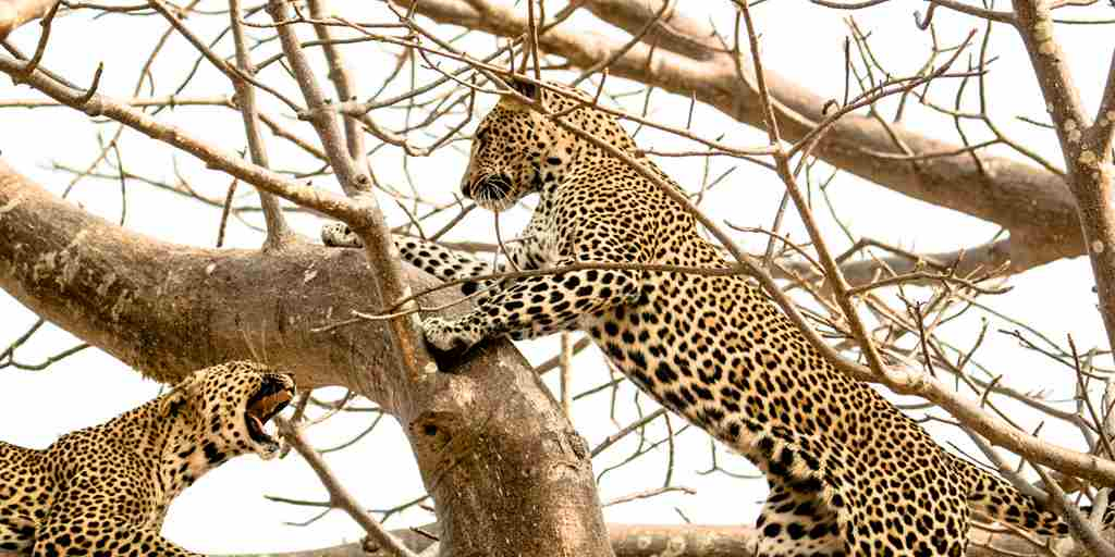 Leopards-Ruaha-National-Park-in-Tree.jpg