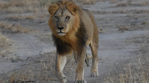 lion-wildlife-ruaha-national-park-tanzania-client-review-yellow-zebra-safaris.png
