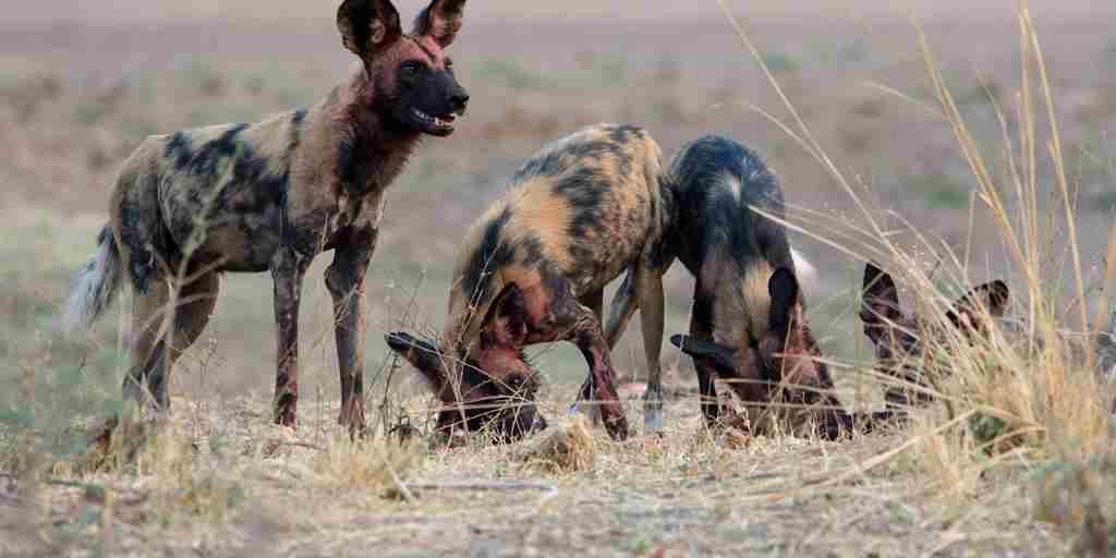 wilddog-wildlife-kafunta-river-lodge-zambia-yellow-zebra-safaris.jpg