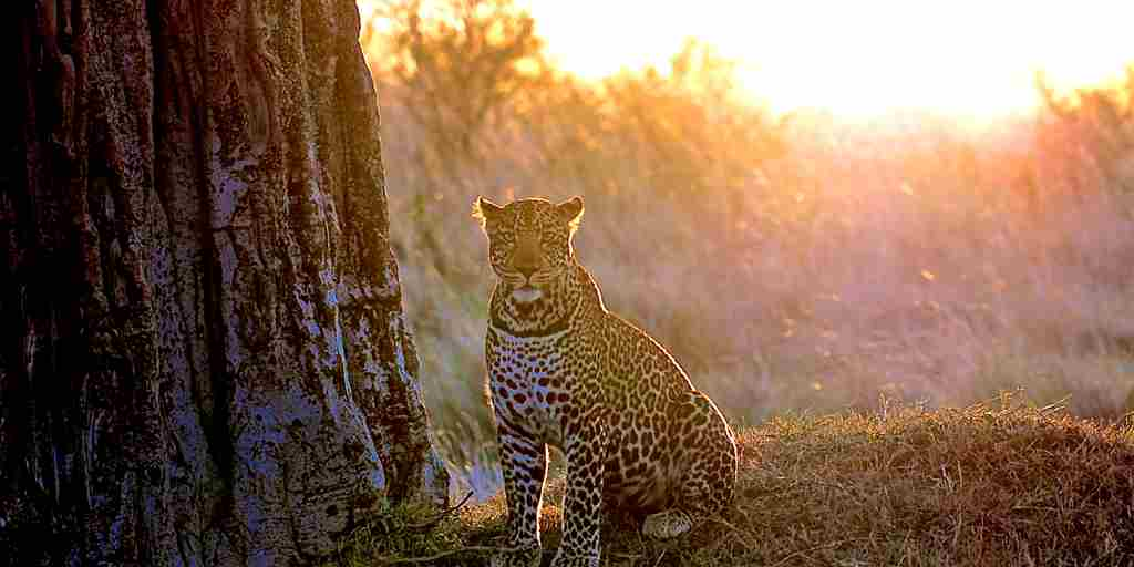 leopard-at-ol-pejeta-bush-camp-kenya-yellow-zebra-safaris.JPG