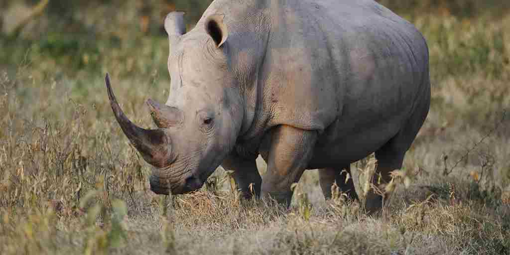white-rhino-ol-pejeta-bush-camp-kenya-yellow-zebra-safaris.jpg