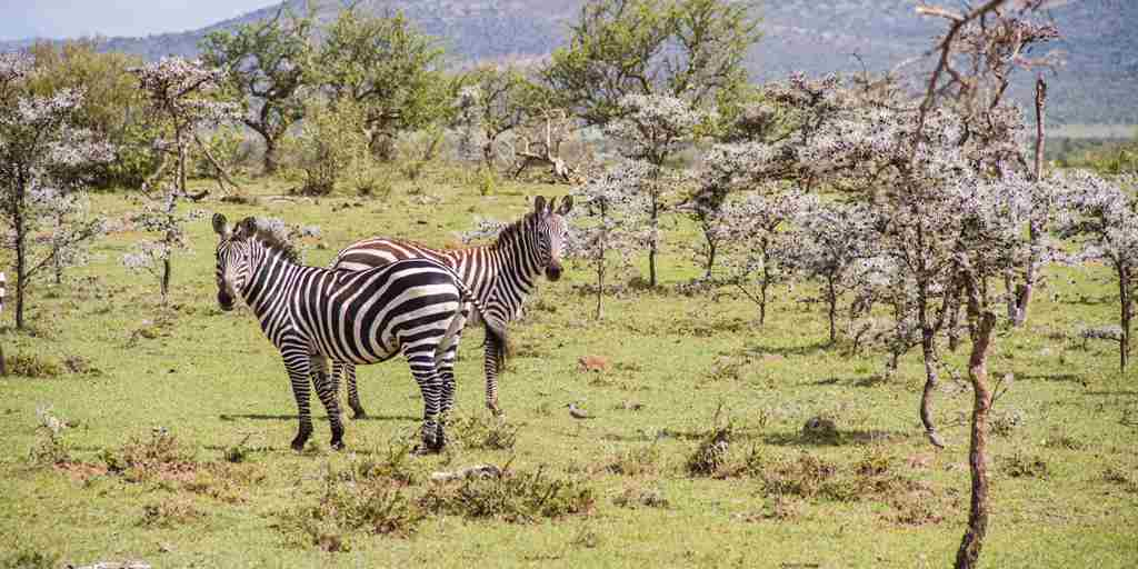 ol-seki-hemingways-game-drive-zebras-yellow-zebra-safaris.jpg