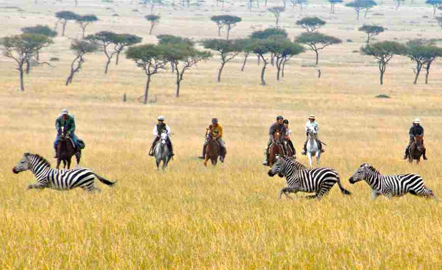 offbeat riding safaris zebras yellow zebra safaris
