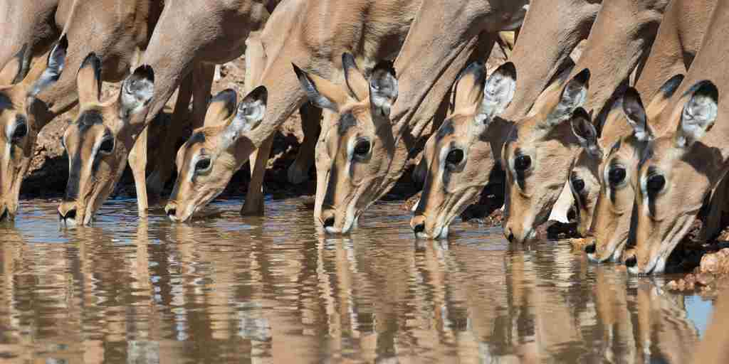 impala-wildlife-ongava-lodge-namibia-yellow-zebra-safaris.jpg