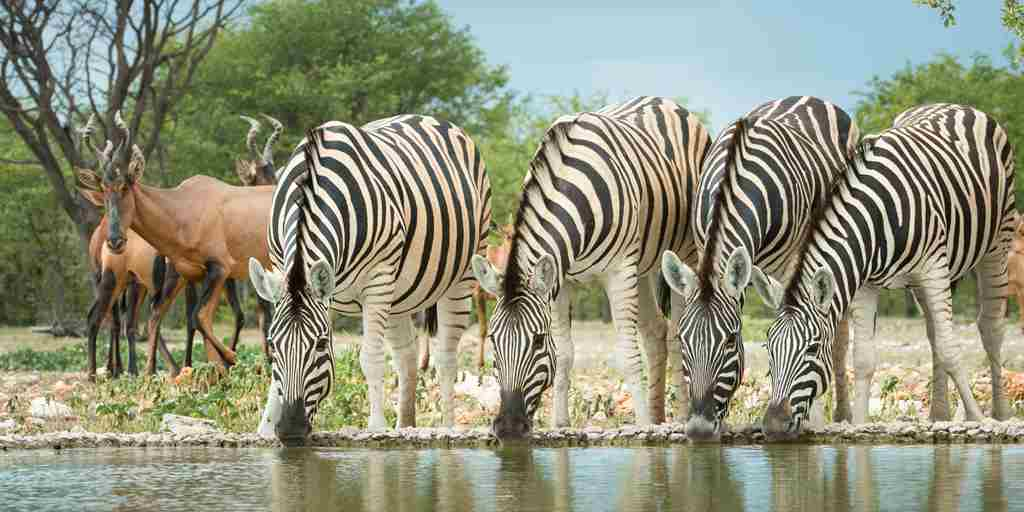 zebras-ongava-lodge-namibia-yellow-zebra-safaris.jpg
