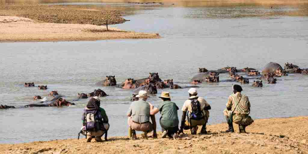 Mwaleshi Camp walking hippo zambia yellow zebra safaris