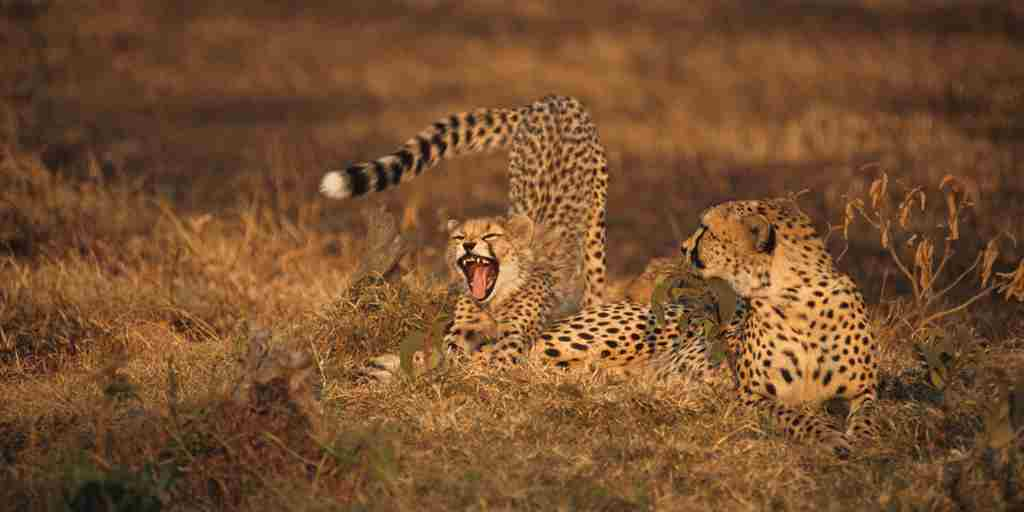 cheetahs-karen-blixen-camp-kenya-yellow-zebra-safaris.jpg