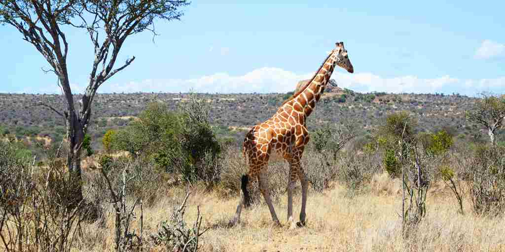 mugie-house-kenya-giraffes-wildlife-yellow-zebra-safaris.JPG