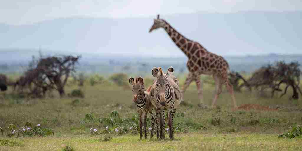 zebra-giraffe-reticulated-mugie-house-kenya-elephant-wildlife-yellow-zebra-safaris.JPG