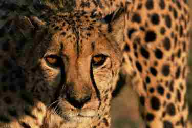 cheetah5-conservation-namibia-yellow-zebra-safaris.jpg