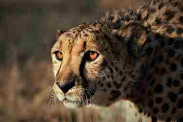 cheetah6-conservation-namibia-yellow-zebra-safaris.jpg