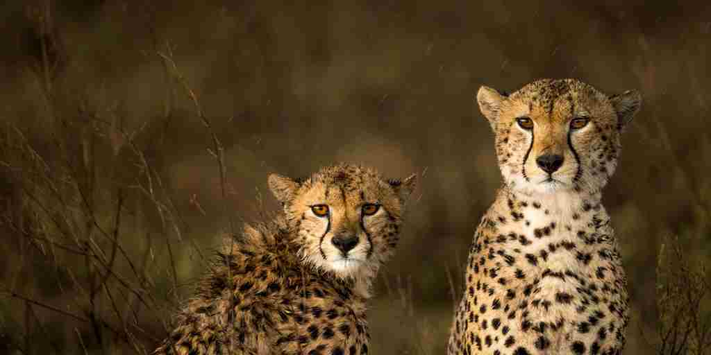 cheetahs eastern serengeti namiri plains tanzania yellow zebra safaris