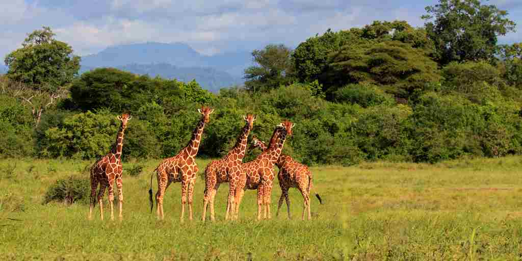 meru-wilderness-camp-kenya-giraffes-yellow-zebra-safaris.jpg