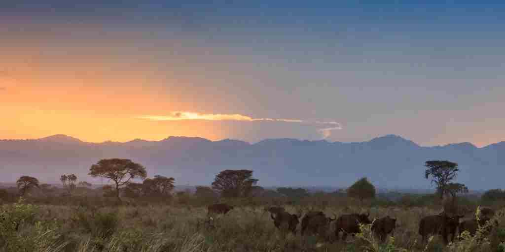 meru-wilderness-camp-kenya-buffalo-sunset-yellow-zebra-safaris.jpg