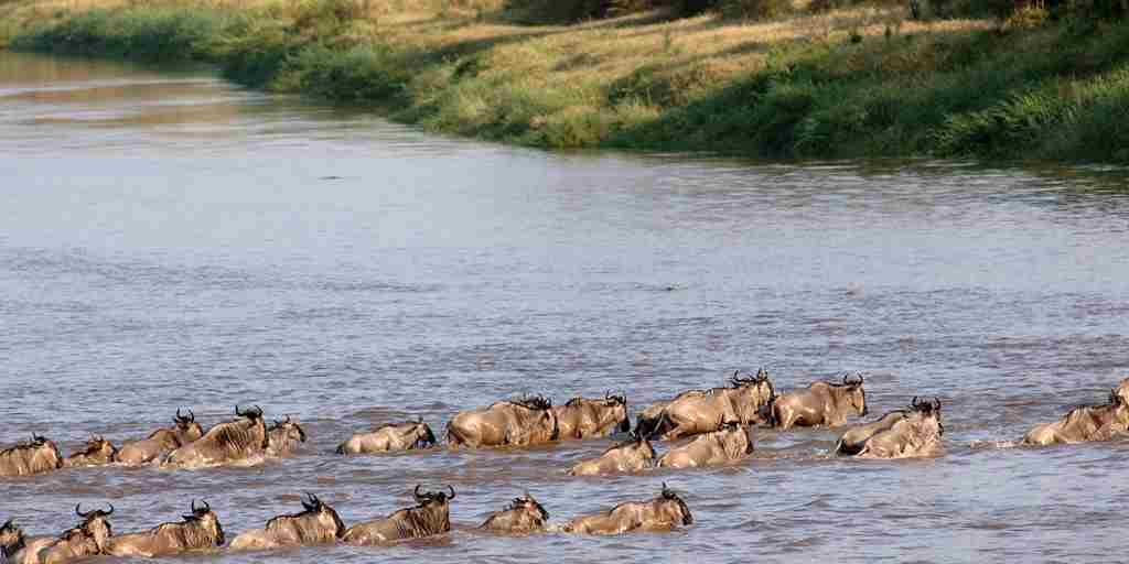 mara-mara-tented-lodge-tanzania-buffalos-yellow-zebra-safaris.jpg