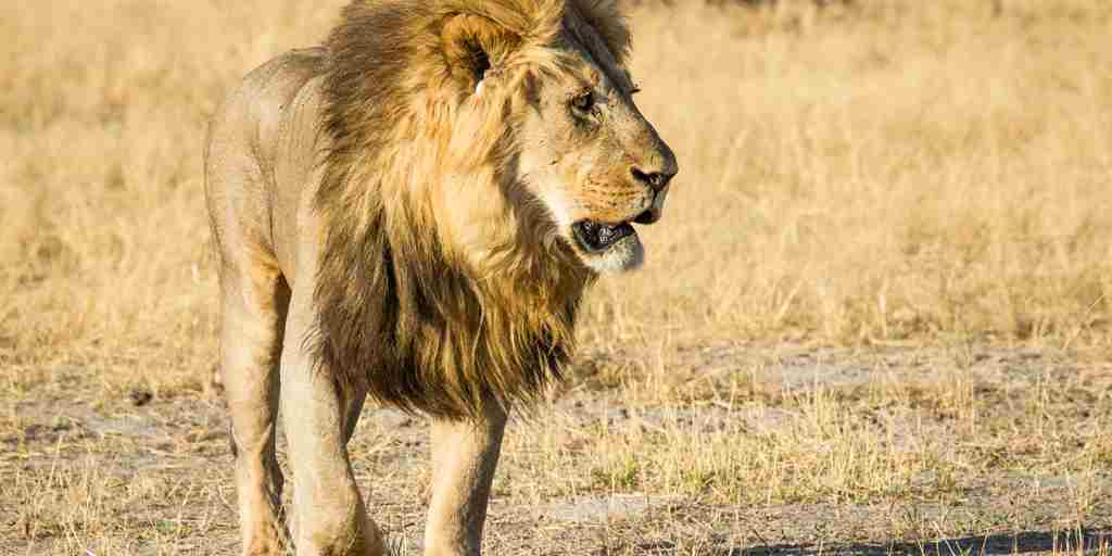 savute-safari-lodge-male-lion-yellow-zebra-safaris.jpg