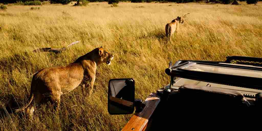 golden-africa-safaris-game-drive-lions-yellow-zebra-safaris.JPG