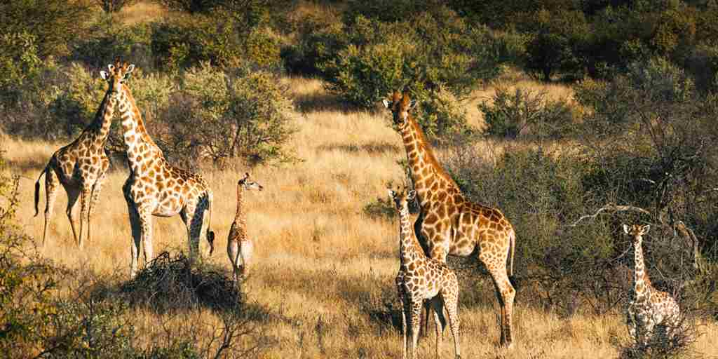 omaanda windhoek namibia game drive giraffes yellow zebra safaris