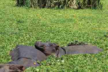 4-lake-manyara-hippo-client-review-clark-couples-safari-tanzania.jpeg