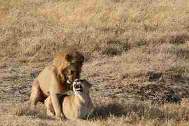 7-lions-ngorongoro-client-review-clark-couples-safari-tanzania.jpeg