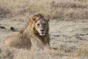 8-lion-profile-client-review-clark-couples-safari-tanzania.jpeg