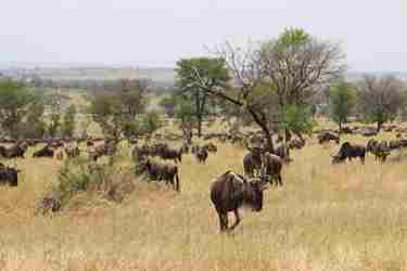 12-wildebeest-landscape-client-review-clark-couples-safari-tanzania.jpeg