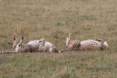 14-cheetahs-sleeping-client-review-clark-couples-safari-tanzania.jpeg