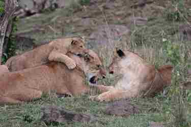 16-lioness-client-review-clark-couples-safari-tanzania.jpeg