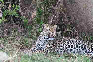 17-leopard-client-review-clark-couples-safari-tanzania.jpeg
