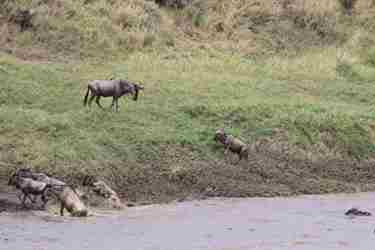 18-baby-wildebeest-and-mom-client-review-clark-couples-safari-tanzania.jpeg