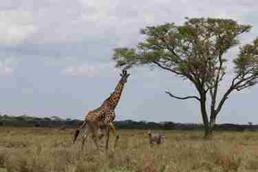 23-nanuyuki-giraffe-client-review-clark-couples-safari-tanzania.jpeg