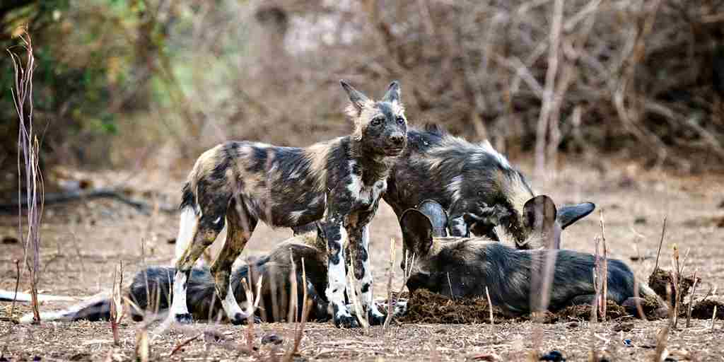little-vundu-camp-dogs-zimbabwe-yellow-zebra-safaris.jpg