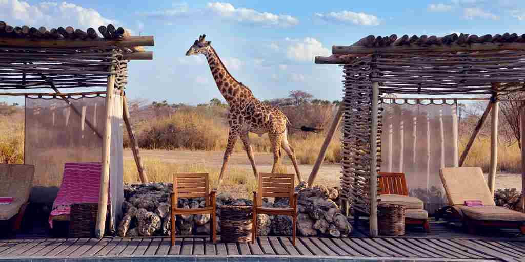 chem-chem-safari-lodge-giraffe-tanzania-yellow-zebra-safaris.JPG