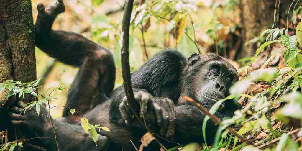 greystoke-mahale-chimp-tanzania-yellow-zebra-safaris.jpg