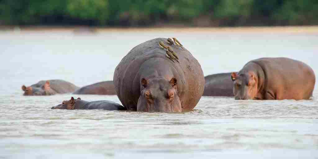Sand-Rivers-Camp-Selous-hippos-yellow-zebra-safaris.jpg