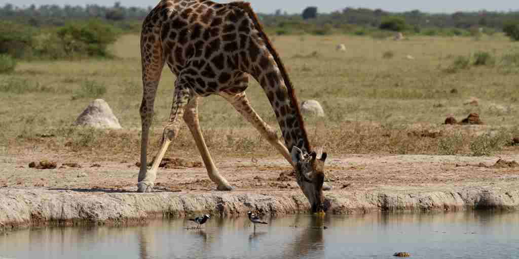 migration-expeditions-giraffe-Botswana-yellow-zebra-safaris.jpg