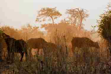 8Buffalos-botswana-client-review-yellow-zebra-safaris.jpg
