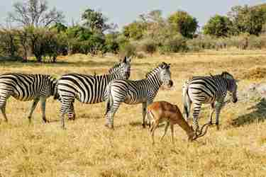 9Zebra-botswana-client-review-yellow-zebra-safaris.jpg