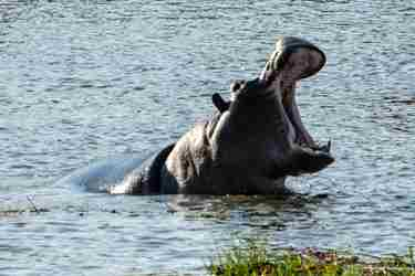 11Hippo-botswana-client-review-yellow-zebra-safaris.jpg