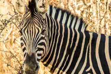 5.Zebra-client-blog-south-africa-safari-yellow-zebra-safaris.jpg