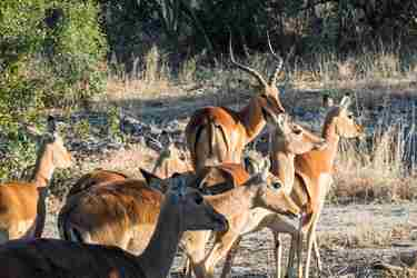 7.Impala-client-blog-south-africa-safari-yellow-zebra-safaris.jpg