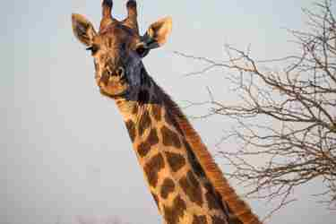 9. Giraffe-client-blog-south-africa-safari-yellow-zebra-safaris.jpg