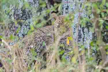 10.Leopard-cub-client-blog-south-africa-safari-yellow-zebra-safaris.jpg